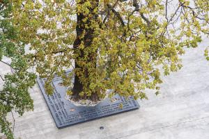 Arborii seculari din piață, păstrați și puși în valoare