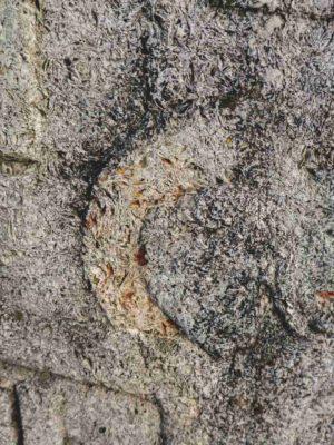 Fig. 4 Detaliu de structură a rocilor calcaroase de tip sarmatic, întâlnite în cimitirul  din Ştefăneşti, Călăraşi. Remarcăm în acest material comun monumentelor funerare din satele: Odaia, Stefăneşti ( Călăraşi), Greceanca, Năieni, Bădeni ( Buzău), structura rocilor de calcar sarmatic, caracterizată prin depuneri de sedimente organogene, evidente sub forma urmelor de fosile, scoici, melci etc. din Era Terţiară, Eocen (conform geologului Cristian Lascu)